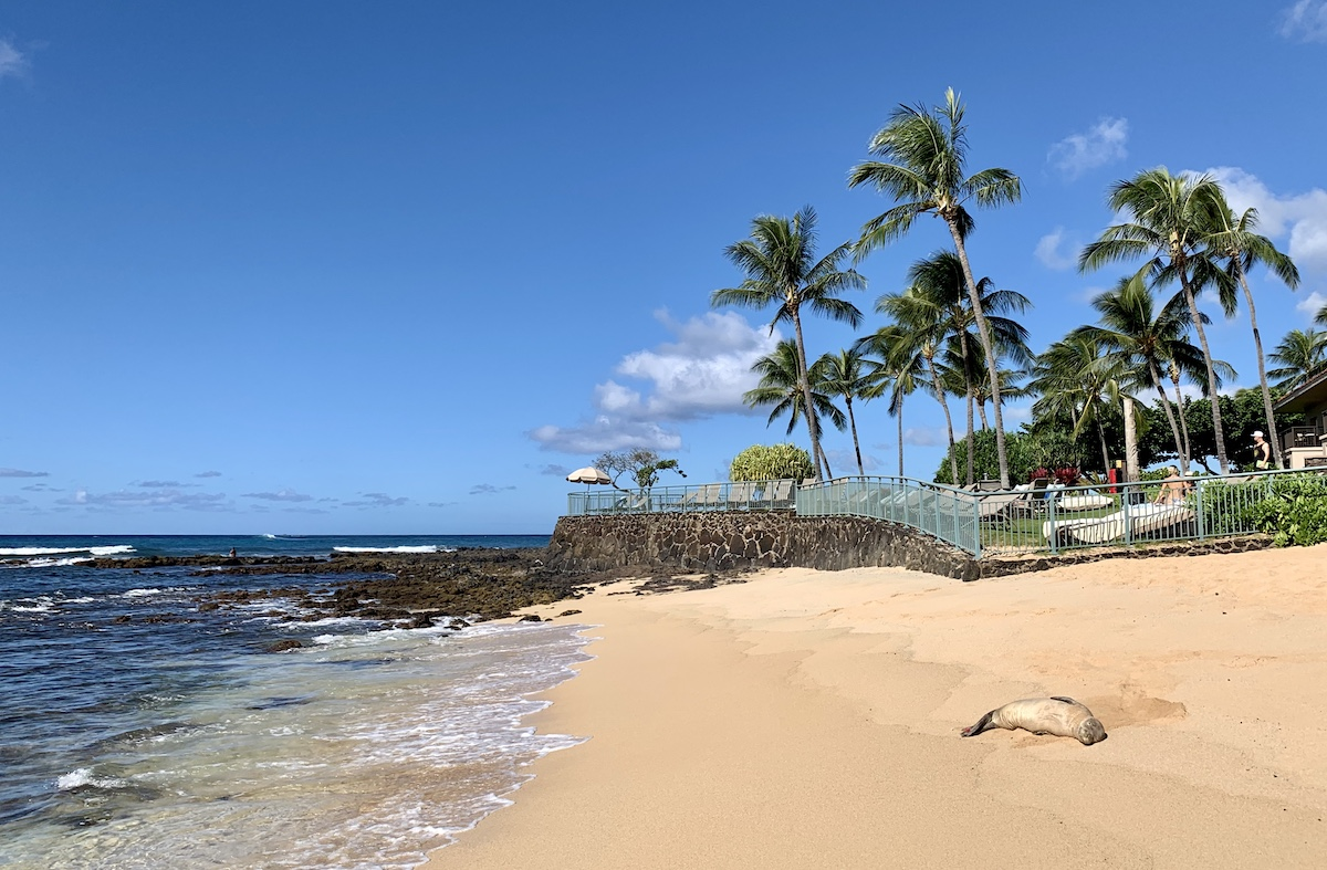 hawaian seal poipu beach hawaii