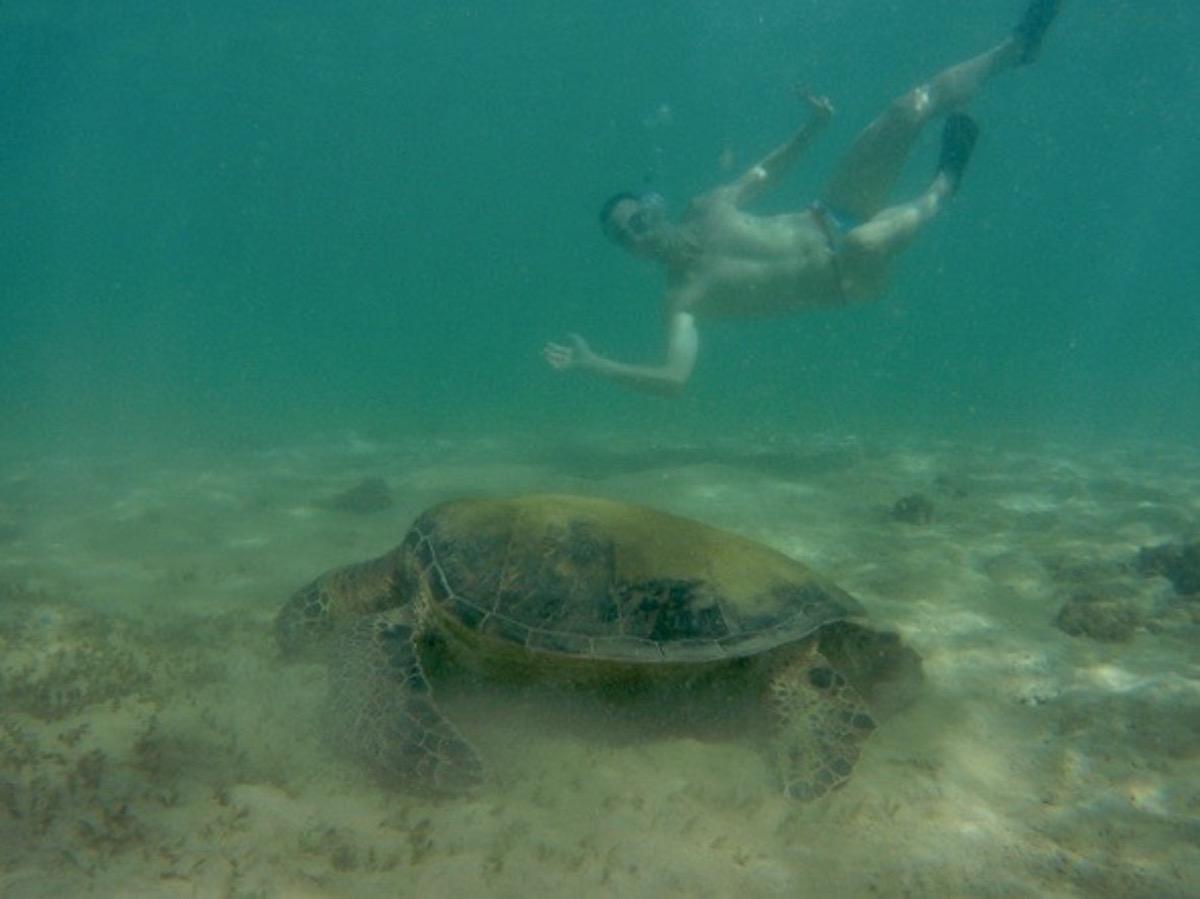 green turtle hawaii kona
