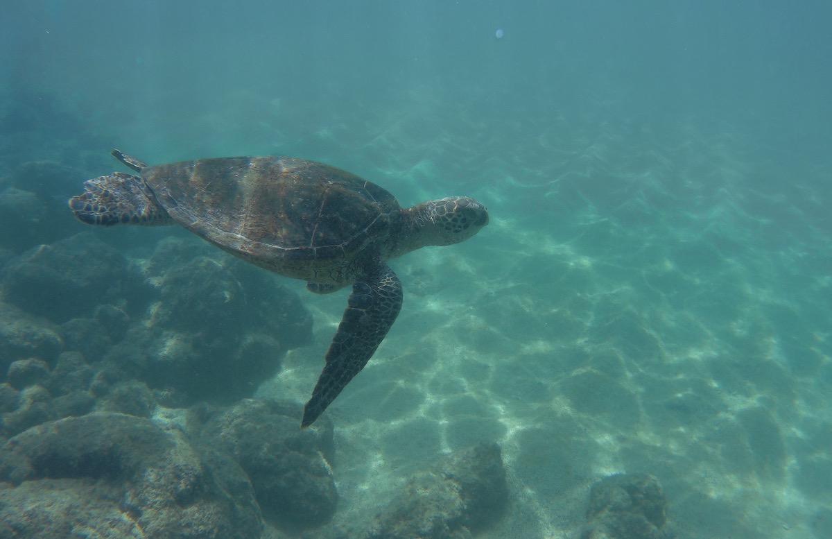 green turtle kauai hawaii
